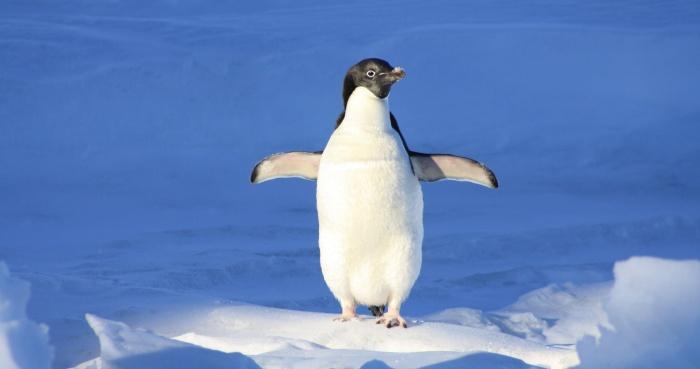 Почему пингвины не мерзнут?