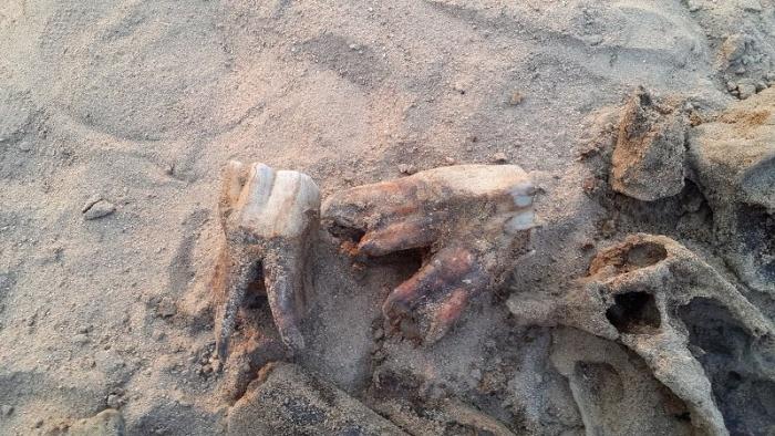 5-летний мальчик играл в палеонтолога и случайно нашел настоящие кости древнего носорога