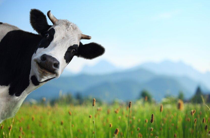 Учёные научились понимать мычание коров
