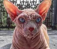 Найден самый морщинистый кот на планете! Канадский сфинкс обладает супер-экзотической внешностью