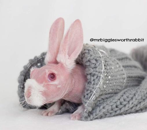 """Лысый кролик из Австралии.  Как косой остался """"без одежды""""?"""