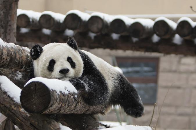 Панды в московском зоопарке в восторге от зимы